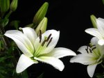 white-lily-4